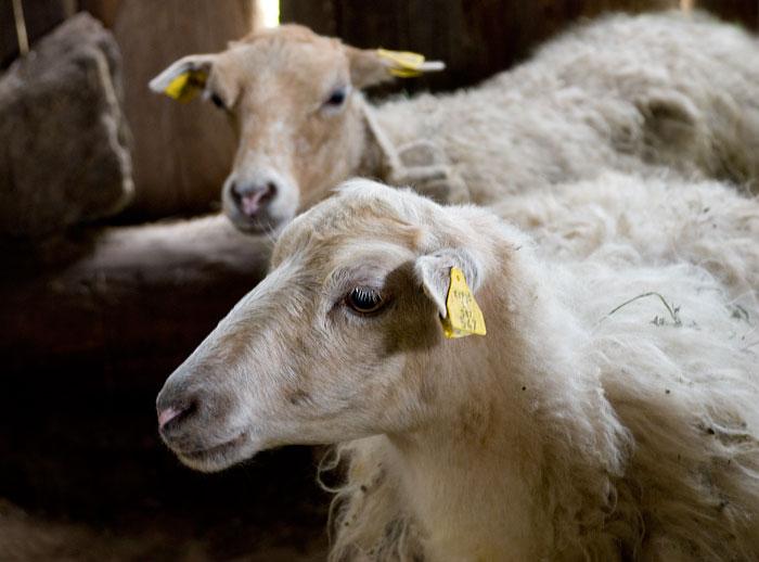 Skudų veislės avytės jau mūsų tvartelyje